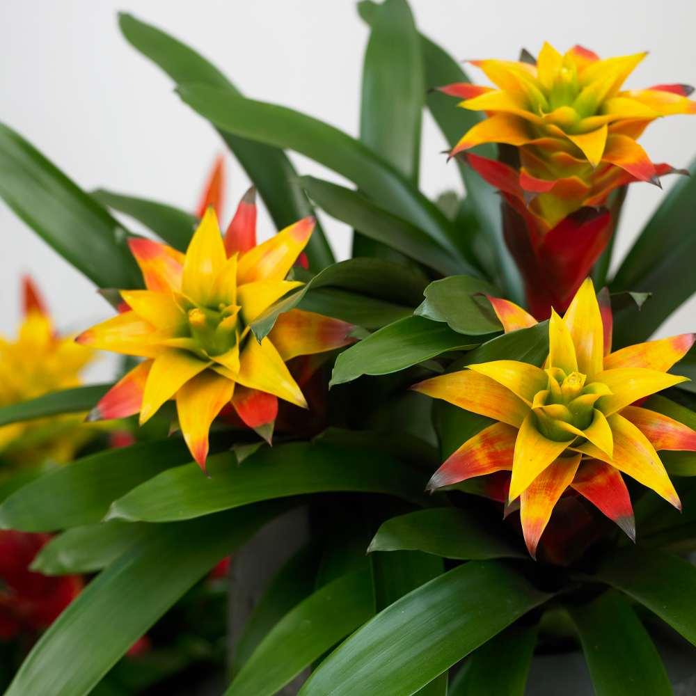 Primule il primo fiore di primavera lezioni di for Primule immagini