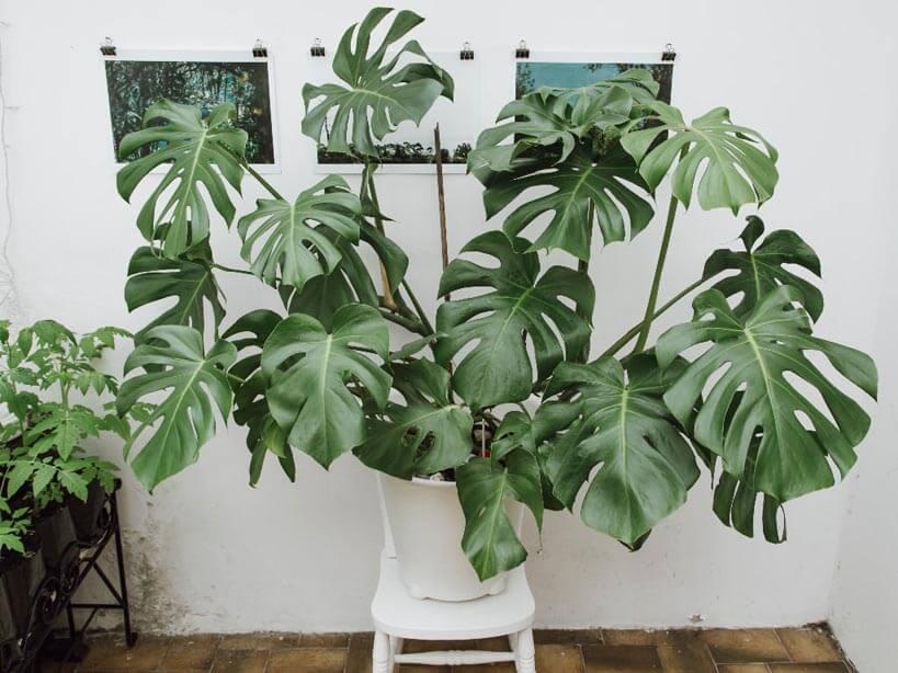 peperomia polybotrya pianta grassa da appartamento poca luce