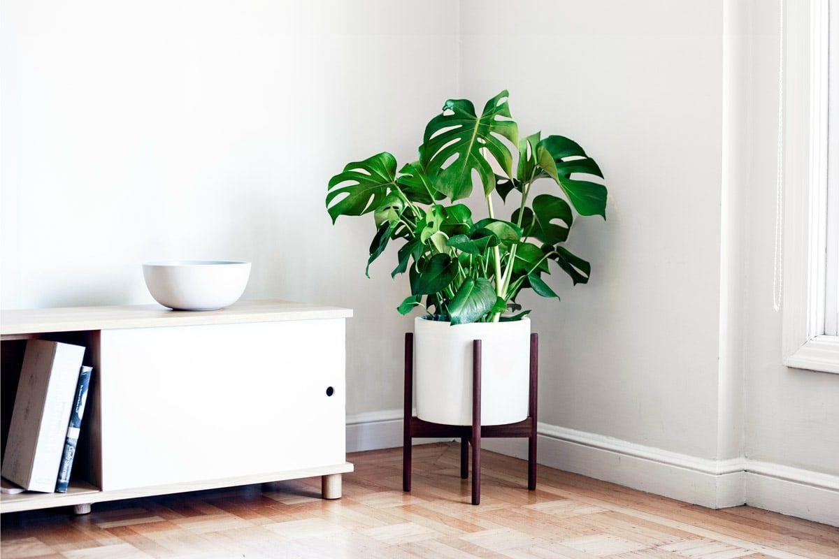 Monstera deliciosa pianta da appartamento vive anche in giardino