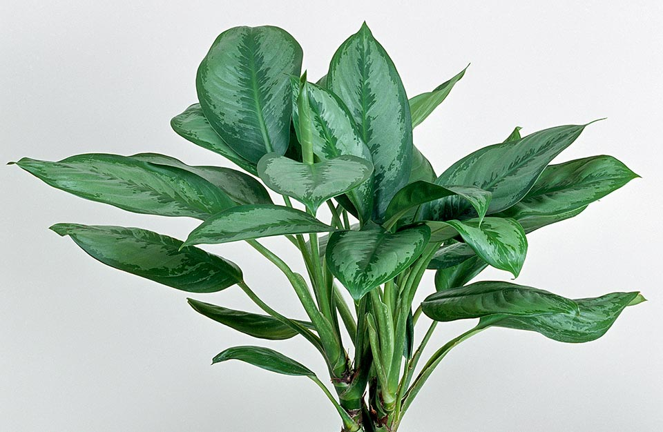 calceolaria pianta fiorita quanta luce